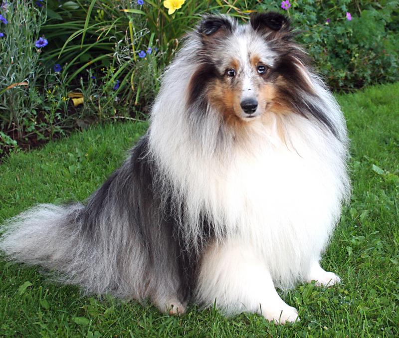 Dog Rescue Dog Home Shetland